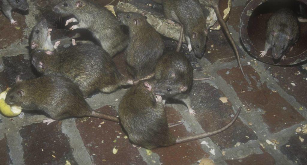 уничтожение крыс в Великом Устюге